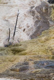 Dead Trees at Mammoth Hot Springs Yellowstone National Park Royalty Free Stock Photography