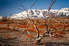 Dead trees. At Mono Lake with Yosemite still covered in snow in the background Royalty Free Stock Image