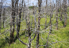 Dead trees on mountain top Tiyahta Stock Photo