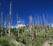Dead trees at Mt St Helen's Stock Photography