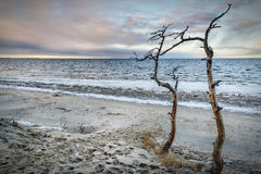 Dead trees near the sea royalty free stock image
