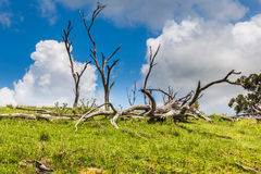 Dead trees in NSW, Australia Royalty Free Stock Photography