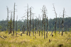 Dead trees in the Obary peat bog in Poland Stock Photo