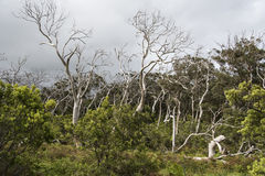 Dead trees in Otway National Park Royalty Free Stock Photography