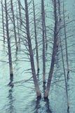 Dead Trees of Quake Lake Stock Photos