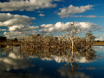 Dead Trees reflecting in Lake. Blue sky, white big clouds royalty free stock photos