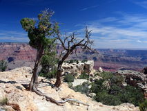 Dead trees on the rim of Grand Canyon Stock Image