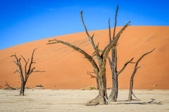 Dead trees in a salt pan in the Deadvlei. Royalty Free Stock Photography