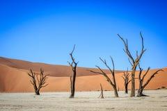 Dead trees in a salt pan in the Deadvlei. Dead trees in a salt pan in the Deadvlei, Sossusvlei, Namibia Royalty Free Stock Photos