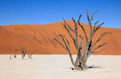Dead trees in a salt pan of namib desert. The scenic Sossusvlei and Deadvlei. Large clay and salt pan with braided Acacia trees surrounded by majestic sand Stock Image