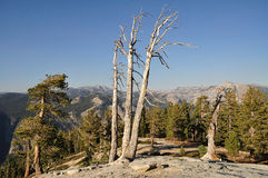 Dead trees on Sentinal Dome, Yosemite. Dead trees on Sentinal Dome with mountains in the background in Yosemite National Park, California, USA Stock Photography