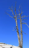 Dead trees. On Sentinel Dome in Yosemite National Park against a perfect blue sky stock photo
