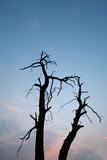 Dead trees sihouette Stock Photos