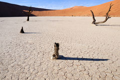 Dead trees at Sossusvlei. View cracked soil at the Sossusvlei Royalty Free Stock Photo