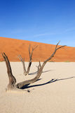 Dead trees at Sossusvlei. Two trees at the Sossusvlei Stock Images