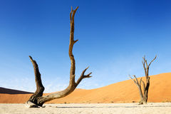 Dead trees at Sossusvlei. Two trees at the sossusvlei Stock Photos