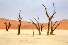 Dead trees at sossusvlei Royalty Free Stock Photos