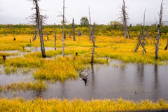 Dead Trees Standing Watery Wet Marsh Wetland Turnagain Arm Alask. It foggy and rainy at the curve heading to Seaward on the Turnagain Arm Stock Photos