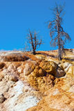 Dead trees sticking out of Palette Spring in the Mammoth Hot Springs Royalty Free Stock Images