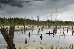 Dead trees sticking out of the swamp Stock Images
