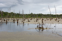 Dead trees sticking out of the swamp Stock Photos