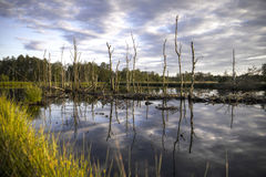 Dead trees in swamp Stock Photos