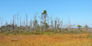 Dead trees in swamp. Dead trees in Aukstumalos swamp in autumn , Lithuania Stock Photo