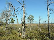 Dead trees in swamp. Dead trees in Aukstumalos swamp, Lithuania Royalty Free Stock Photo