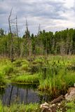 Dead trees in the swamp with dark clouds. Picture taken with Canon 80d of dead trees in a swamp with dark clouds stock images