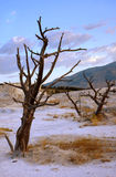 Dead Trees on Terrace. Of Mammoth Hot Spring in Yellowstone National Park, Wyoming stock image