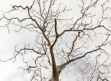 Dead trees. Dead tree twigs and branches with dusky sky Stock Photo