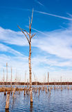 Dead Trees in the Water. A series of dead trees standing up out of the water in a reservoir Royalty Free Stock Photos