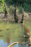 Dead trees. In the water of a pond standing and lying dead trees in a swamp, in a forest Stock Photos