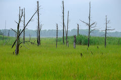 Dead trees in the wetlands of New Jersey Stock Photo