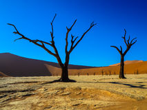 Dead trees on white clay pan in desert. Dead Camel Thorn trees on white clay pan in the dead valley sand dune Royalty Free Stock Photos