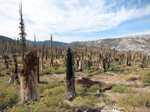 Dead trees after Wildfire Royalty Free Stock Image