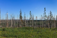 Dead Trees From Wildfire Stock Images