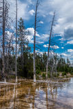 Dead trees of the Yellowstone Royalty Free Stock Photo