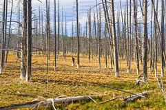 Dead trees in Yellowstone National park Stock Photo