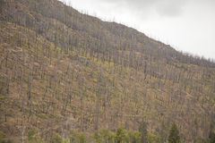 Dead tress after forest fire Stock Photography