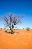 Dead ttee in the Kalahari Royalty Free Stock Image
