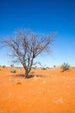 Dead ttee in the Kalahari Royalty Free Stock Image