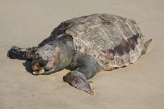 Dead turtle on the beach Royalty Free Stock Photo
