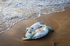 A dead turtle on the beach Royalty Free Stock Photography