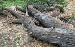 Dead Twisted Pine Tree in the Wallow Mountains, NE Oregon, USA Royalty Free Stock Photo