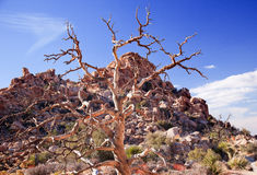Dead Twisted Tree Hidden Valley Joshua Tree Royalty Free Stock Photography