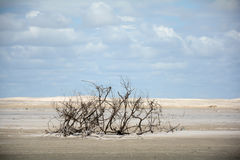 Dead vegetation on the beach. Beautiful and natural dead tree on a dune near jericoacoara ceara brazil a paradise with loots of trees and branches in unusual Royalty Free Stock Photography