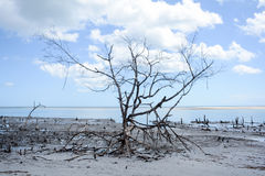Dead vegetation on mangue seco. Beautiful and natural dead tree on mangue seco near jericoacoara ceara brazil a paradise with loots of trees and branches Stock Images