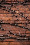 Dead vine on a brick wall Stock Photo