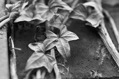 Dead Vine Stock Photography